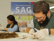 SAG autoriza ingreso de plantas de nogal a Chile